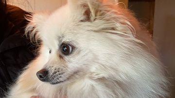 Miniature Pomeranian, Pom Pom, reunited with her family after surviving a tornado.