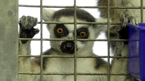 Lemur scratches at door, attacks woman when she emerges to investigate