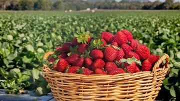 Queensland strawberry farm