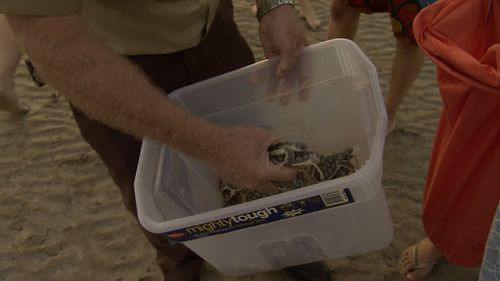 The small hatchlings were placed onto the sand by wild life rangers.