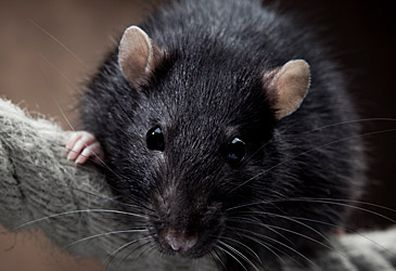 Black rat (Getty)