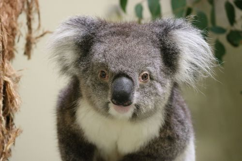 WWF: Koalas face wipe-out, animal populations down by 60 per
