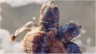 A rare two-headed turtle has been found on a South Carolina beach.
