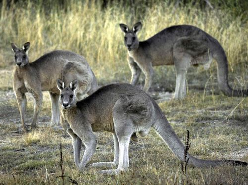 Experts are concerned a cull will decimate roo populations as they're already under stress.