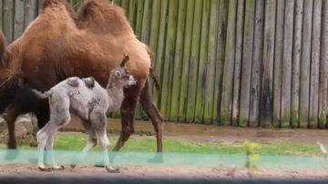 Louis meet Louis: UK Zoo names camel after royal baby