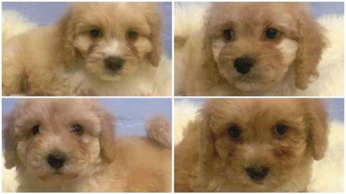 Police are now searching for the pups. (Victoria Police)