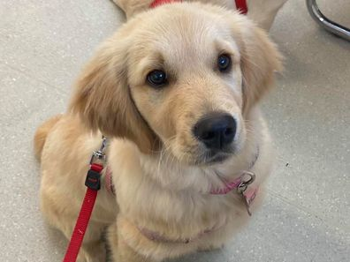 Sophie was surrendered to a vet by her breeder when she was seven weeks old.