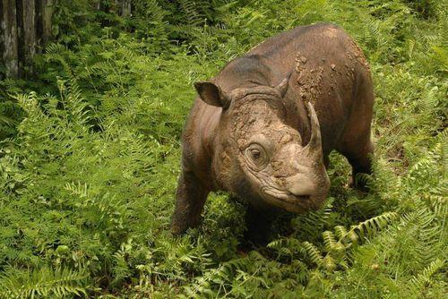 Malaysia's last male Sumatran rhino dies in captivity
