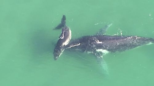 A humpback whale calf nudges an adult whale stranded off North Stradbroke Island. (9NEWS)