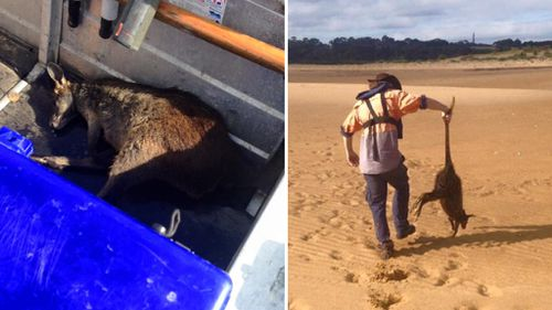 Fishermen rescue unconscious wallaby from waters 200m off Phillip Island