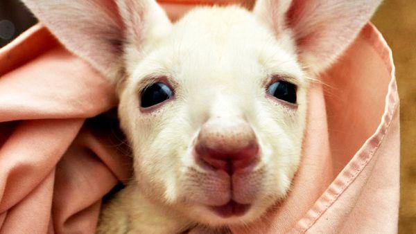 White kangaroo at Caversham Wildlife Park (Facebook)