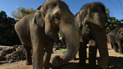 Num-oi (left) has finally given birth after 22 months, however the calf was born with a congenital condition. (AAP)