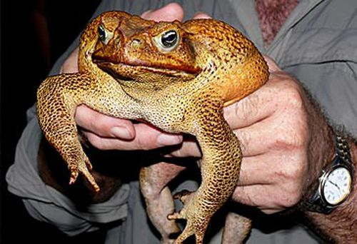 Cane toad (AAP)