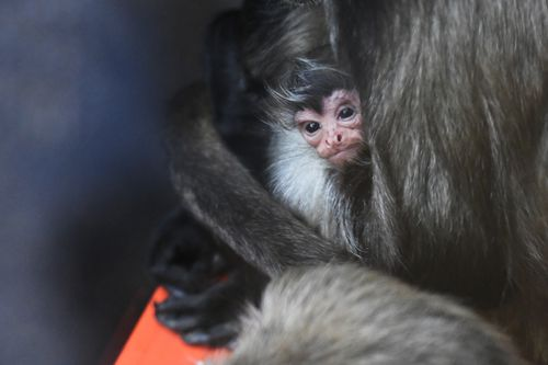 The baby monkey is yet to be named. (AAP)