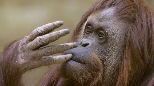 Sandra was born in a German zoo in 1986 and moved to Argentina in 1994. (Getty Images)