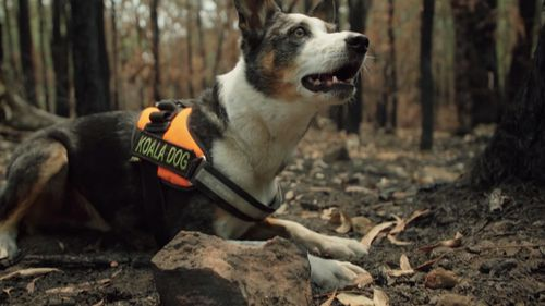 "Animal rescuers in the NSW Blue Mountains are getting help from a specially trained dog named ""Smudge""."