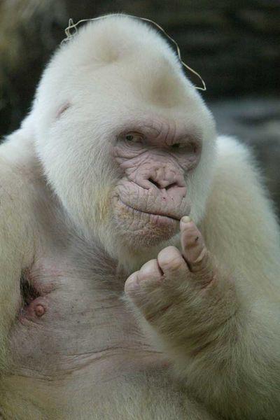 <p>Albino gorilla</p>