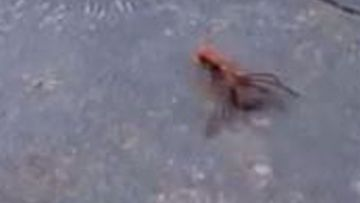 The orange wasp can be seen dragging the dead Huntsman.