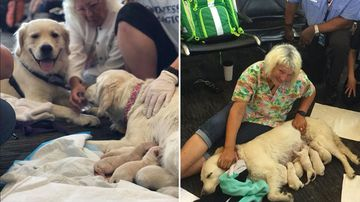 Service dog set to board plane gives birth to eight pups at airport