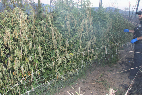 The crops were allegedly discovered after a gire in the area.