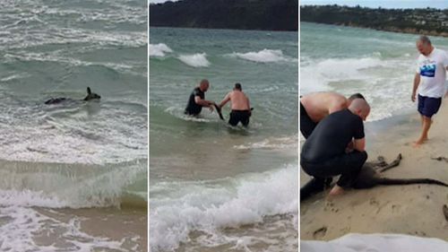 The officers ran into the surf and hauled the unconscious kangaroo back to shore.