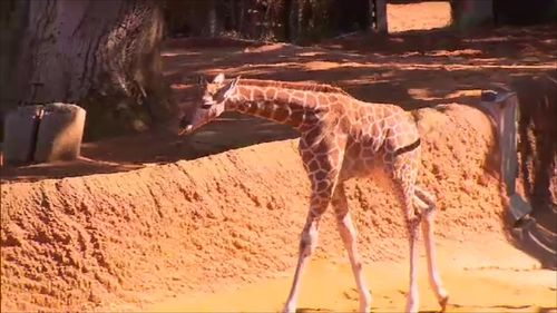 With long legs, it was a wobbly start for the baby giraffe. (9NEWS)