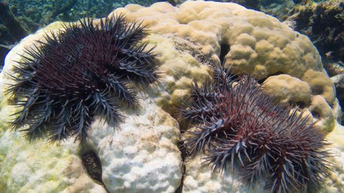 The crown-of-thorns starfish is a threat to the Great Barrier Reef. (AAP)