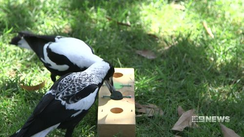 The magpies were given a number of tests to look at their intelligence. (9NEWS)