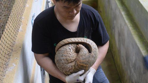 Vet Lam Kim Hai carries an injured pangolin. (AFP)