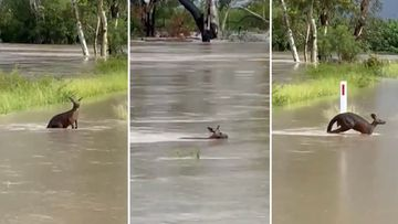 A kangaroo made its way through flood waters to its family nearby in flooded Moree.