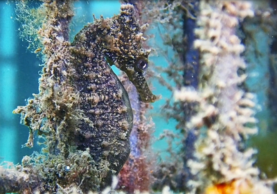 Seahorses released in Sydney Harbour