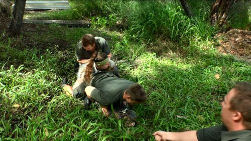 The park workers jump on the back of the alligator to pin it. (Image: Tim Faulkner/Australian Reptile Park)