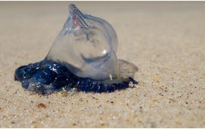 Winds, waves and currents to blame for bumper bluebottle season