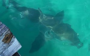 Massive great white shark spotted off South Australian jetty