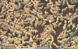 56k sheep aboard ship to be killed after live export refusal