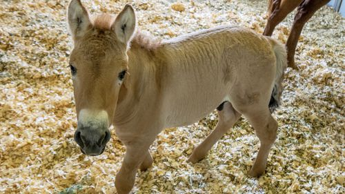 This photo provided by San Diego Zoo Global shows Kurt, a tiny horse who is actually a clone. Little Kurt looks like any other baby horse as he frolics playfully in his pen.