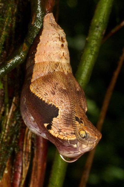 <p>Snake-mimicking butterfly (Dynastor darius).</p>