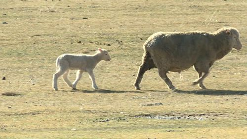 Just over half of Canberra's 170 farms house cattle and sheep. Picture: 9NEWS