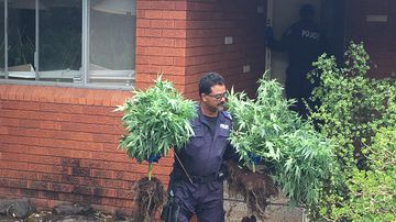 Hundreds of cannabis plants seized in sweeping raids