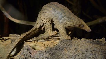 A pangolin in the care of Save Vietnam Wildlife. (AFP)
