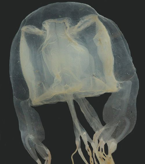 190502 Box Jellyfish sting antidote Australian researchers Science News