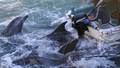 Fishermen on boats go over bottlenose dolphins in Taiji, western Japan.