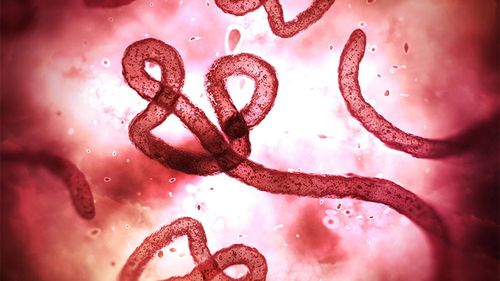 The Ebola virus under a microscope.