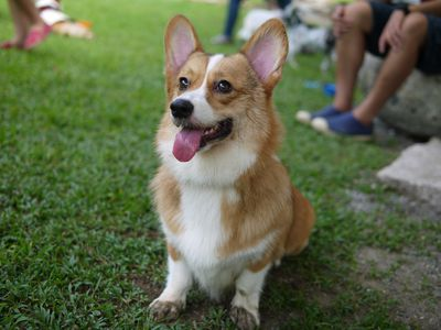 <strong>Welsh corgi</strong>