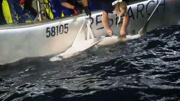 Inside the program to track bull sharks in Sydney Harbour