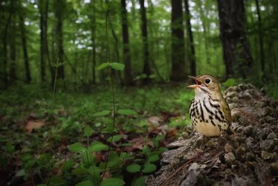 'Claiming the forest floor'. Category: Birds in the Environment. Silver award winner.