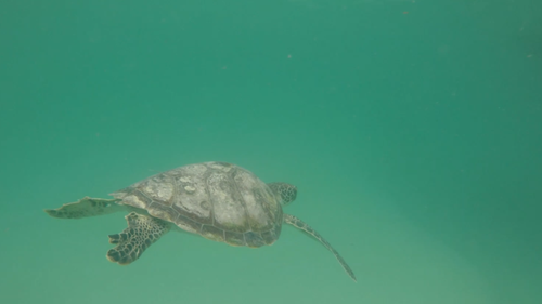 The hawksbill turtle was found in May after a suspected boat strike, while the two green turtles were found with 'floating syndrome' - meaning they could not dive.