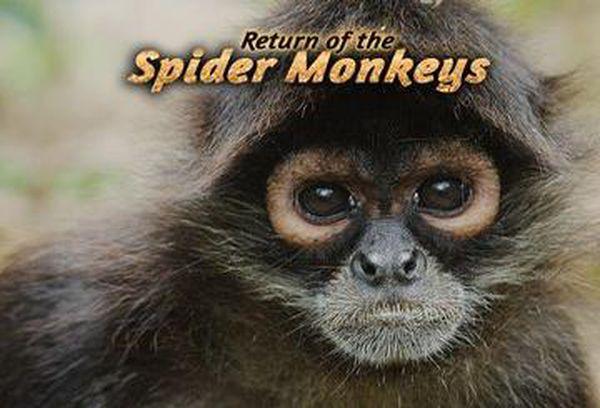 Return of the Spider Monkeys