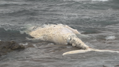 The carcass of a whale has washed up near Port Kembla beach, in NSW.