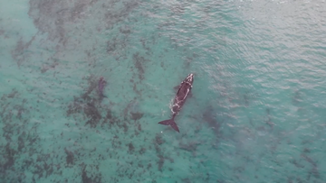 Two adult female whales and two calves were spotted on the Southern Coast of NSW.